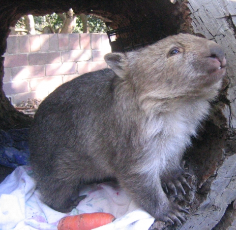 Pic of  Wombat